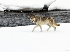 Wolf walking in Yellowstone National Park in winter.